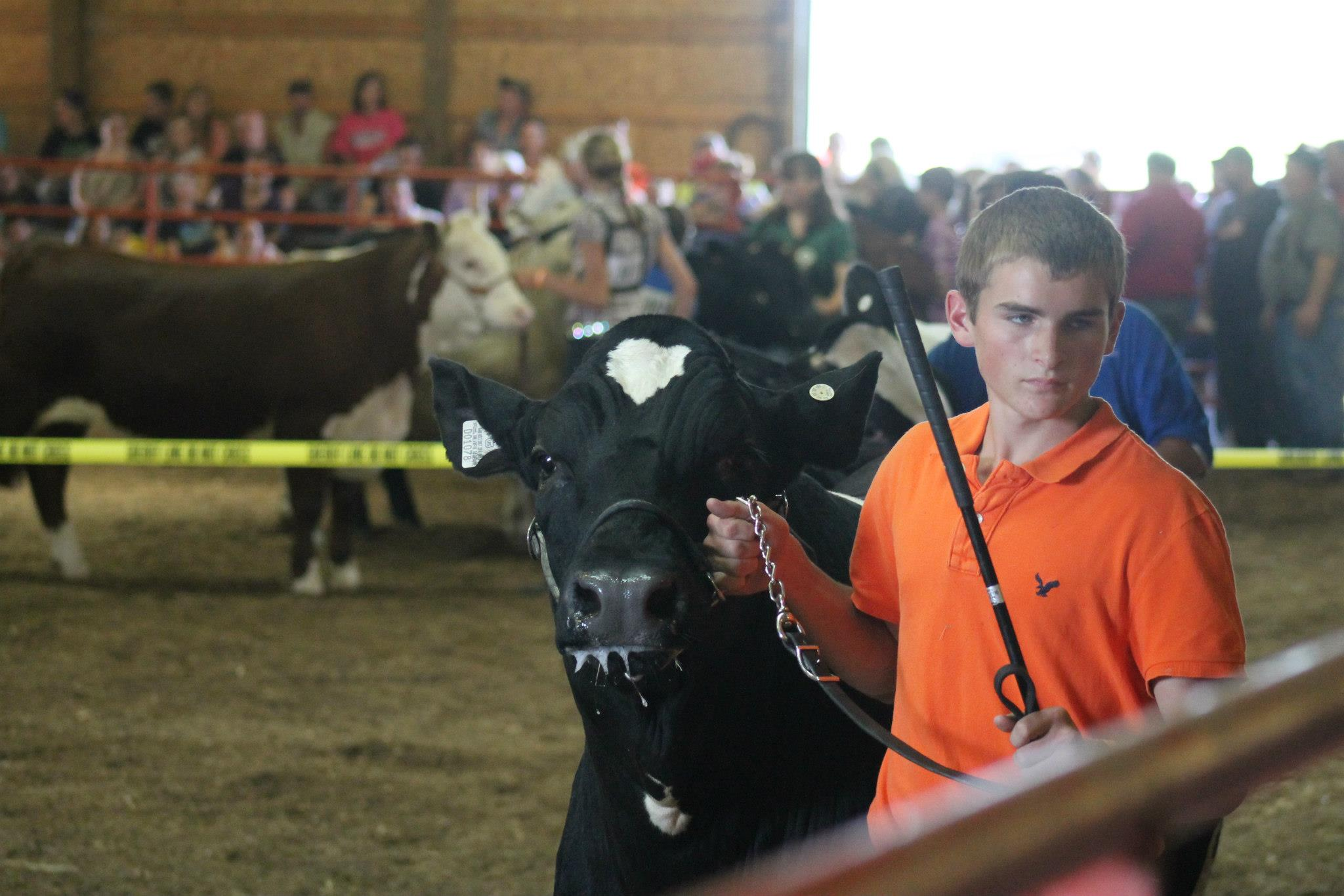 Showing Cattle at the Dodge County Fair